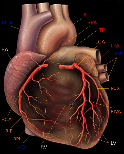 Coronary Arteries Pictures Enetmd