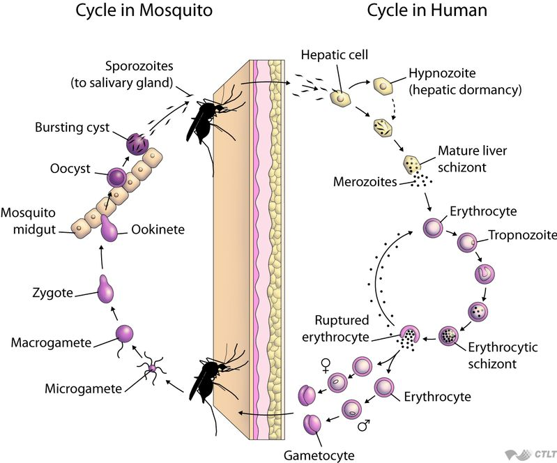 malaria life cycle The life cycle of malaria apk免费下载,the life cycle of malaria最新版安卓apk 10c 下载。打一个蚊子和寄生虫了解疟疾的生命周期.