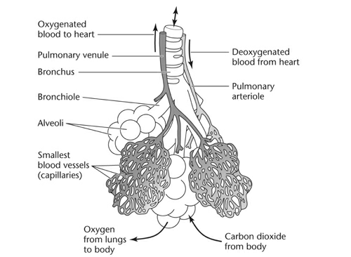 asthma - the alveoli of the lungs