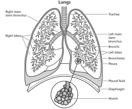 asthma - anatomy of the lungs