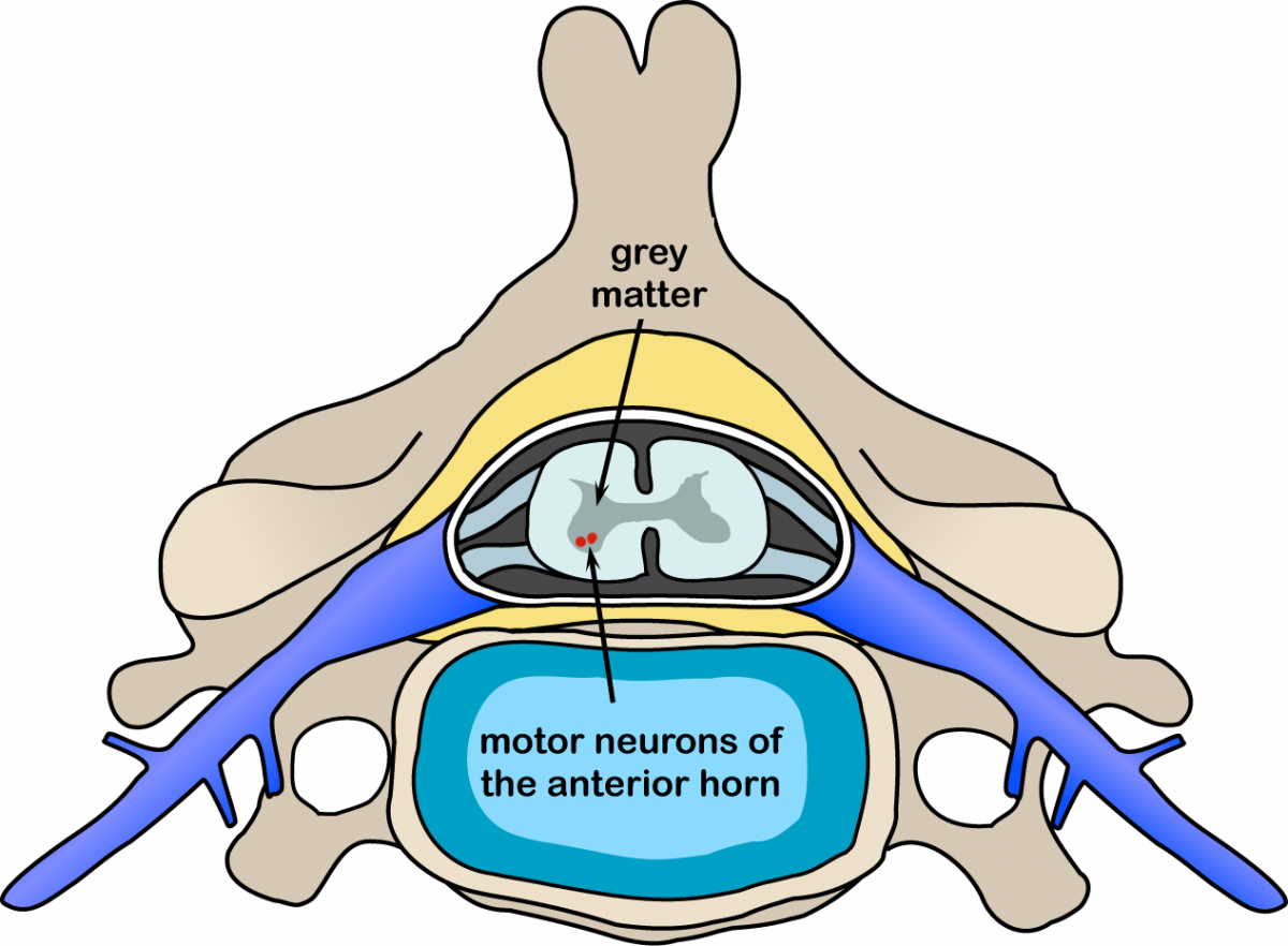 diagram of spine showing location of lower motor neurones