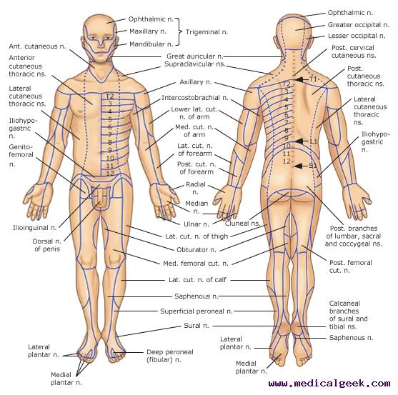 Diseases Of The Peripheral Nerves Enetmd